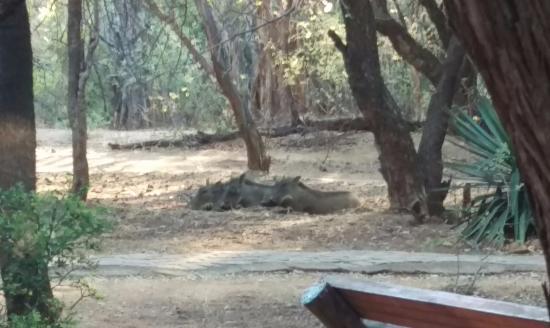 Mabalingwe - Tlou Lodge : warthogs sleeping outside chalets