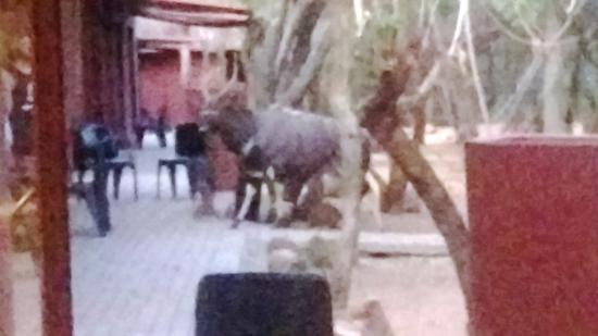 Mabalingwe - Tlou Lodge : Nyala being fed by people