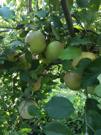 Woodstock, IL: My family enjoyed apple picking & my son had a so much fun. Always crowded place to come over. W