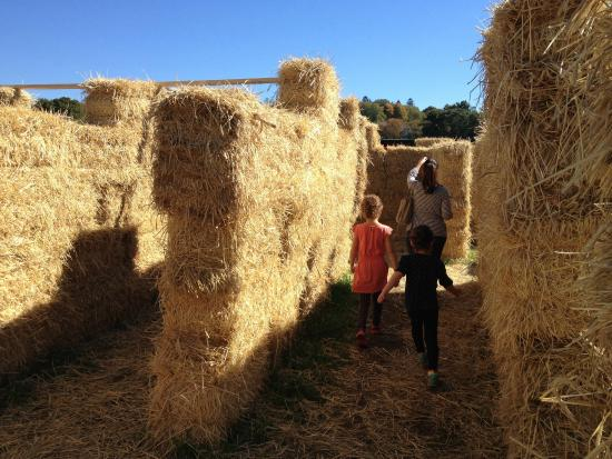 Lexington, MA: hay maze
