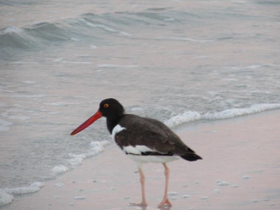 Camelot by the Sea : Oystercatcher