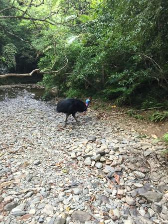 Heritage Lodge & Spa: Cassowary spotting while swimming in the creek with the kids - super!