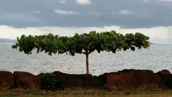 The Savaiian Hotel: A fun tree