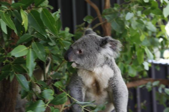 how to go to lone pine koala sanctuary