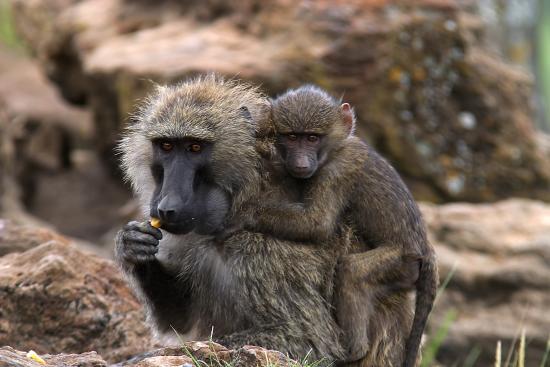 Baboons & Vervits: Baboon with child at Baboon Point, Lake Nakuru