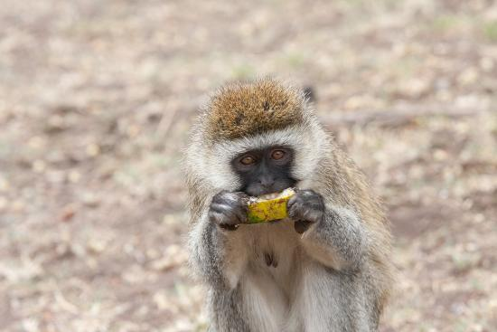 Baboons & Vervits: Female Vervet monkey, Lake Nakuru