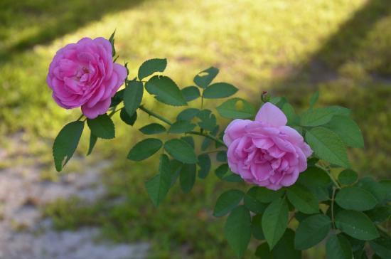 Розы очень красивы