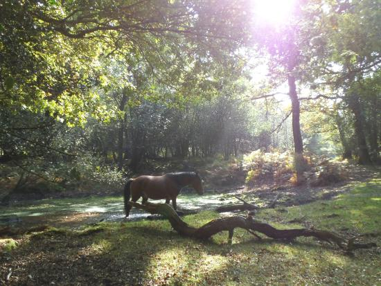 Minstead, UK: Wild pony in New Forest