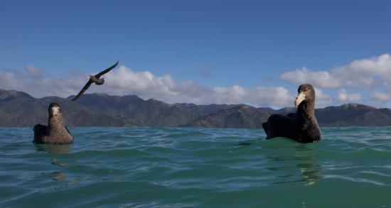 Albatross Encounter: Giant Northern Petrels