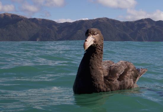 Albatross Encounter: Giant Northern Petrel