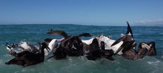 Albatross Encounter: Petrels and albatross feeding