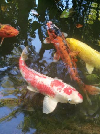 Winterthur, Delaware: Huge coy in the ponds