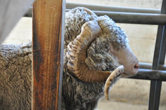Pittsfield, MA: handsome ram