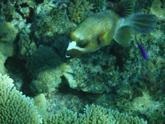 White Sandy Beach Dive Resort: boxfish