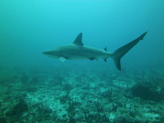 Симпсон-Бей, Сен-Мартен – Синт-Мартен: Majestic sharks.