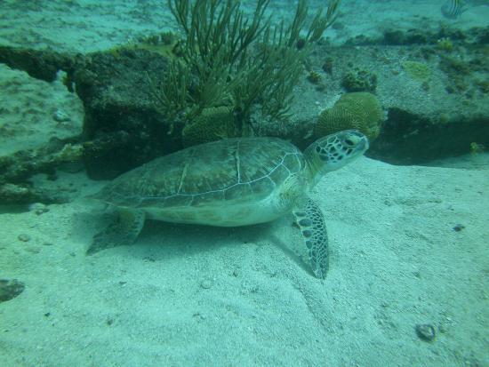 Симпсон-Бей, Сен-Мартен – Синт-Мартен: just one of several turtles we saw.