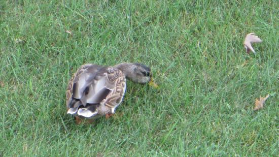 Peppertree at Tamarack HOA: Local ducks