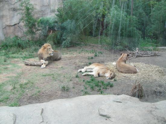 Lions Foto Cincinnati Zoo Botanical Garden Cincinnati Tripadvisor