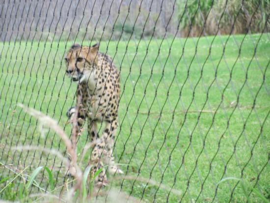 Cheetah Foto Cincinnati Zoo Botanical Garden Cincinnati Tripadvisor