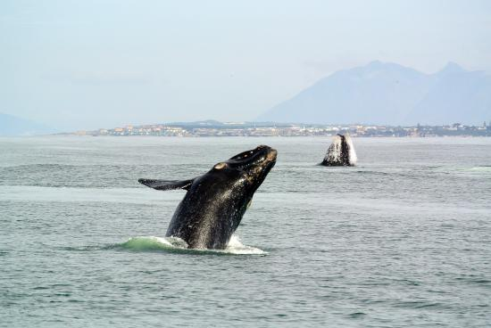 Hermanus, Sudáfrica: two whales jumping together