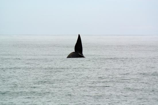 Hermanus, Sudáfrica: whale