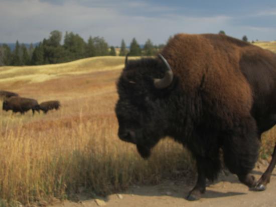 Blacktail Plateau Drive : Close Encounter