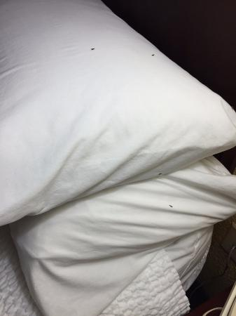SpringHill Suites Jacksonville : Bugs on pillow