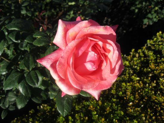West Kelowna, Kanada: PINK ROSE