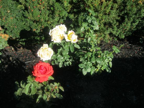 West Kelowna, Canadá: BEAUTIFUL GARDENS WITH ROSES