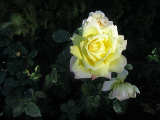 West Kelowna, Canadá: YELLOW ROSE