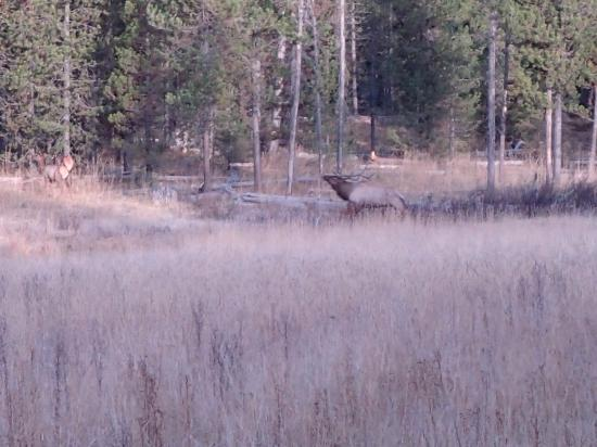 Island Park, ID: Big elk