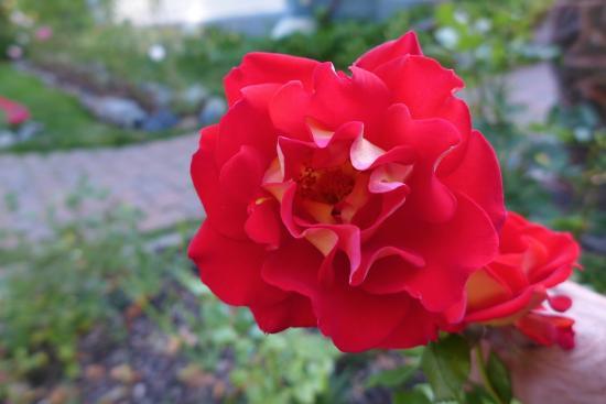 Dream Inn Mount Shasta: Beautiful Roses in the Dream Inn garden