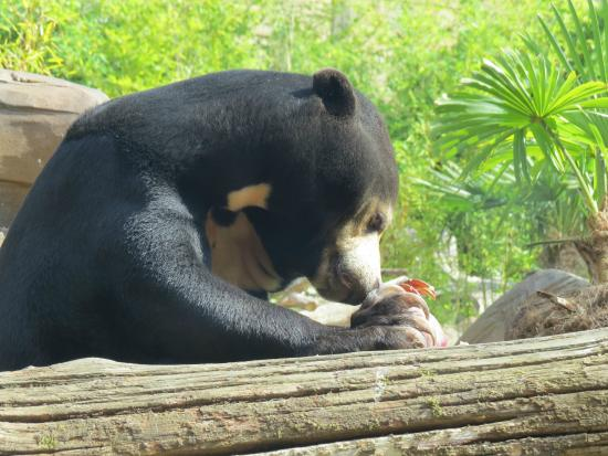Sun Bear - Picture of Colchester Zoo, Colchester