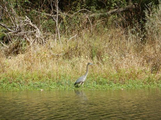 ฟอเรสต์วิลล์, แคลิฟอร์เนีย: Heron