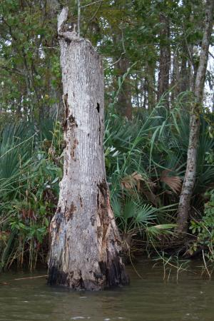Eco Tours of South Mississippi: A trunk in the swamp