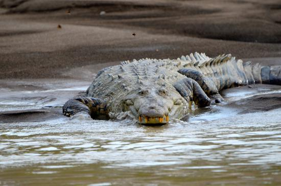 Sarapiqui River: A smiling crocodile