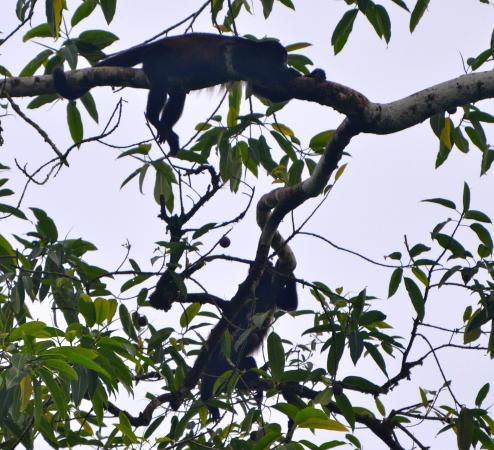 Provincia de Heredia, Costa Rica: Playful howler monkeys