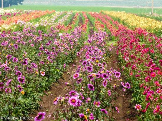 Acres Of Dahlias Picture Of Swan Island Dahlias Canby Tripadvisor