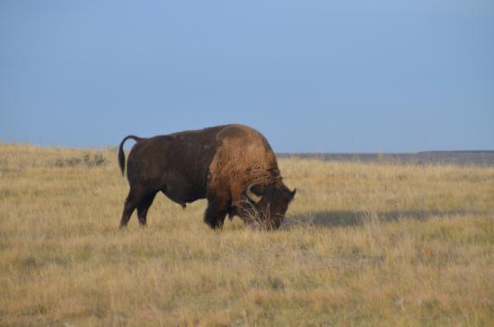 Grasslands National Park: Plains bison