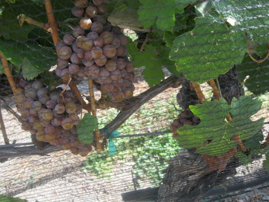 Summerland, Canadá: GORGEOUS GRAPES