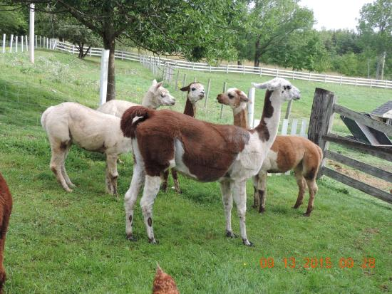 "Azelia Farmhouse B & B: Al's alpacas with llama ""guard"""