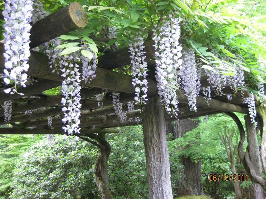 Japanese Wisteria in Bloom - Picture of Portland Japanese Garden ...