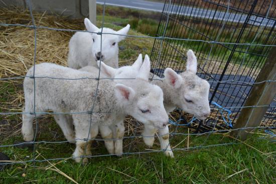 Lochaber Farm Shop Crafts and Cafe: Baby sheep