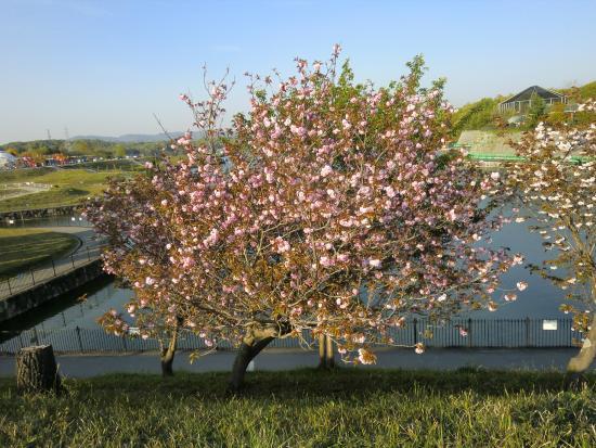 Fukuyama City Zoo : 動物園そばの桜