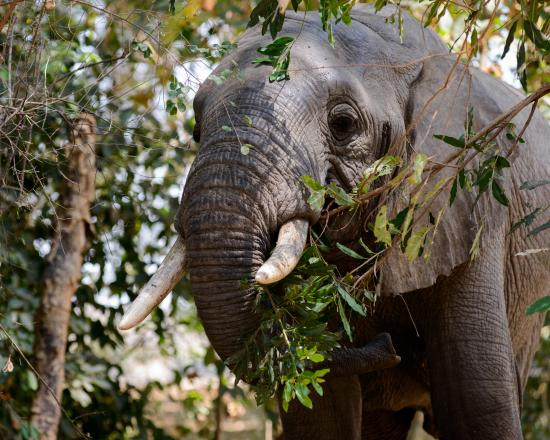 Niassa Wildlife Reservation, Mozambik: Elephant in Lugenda Camp