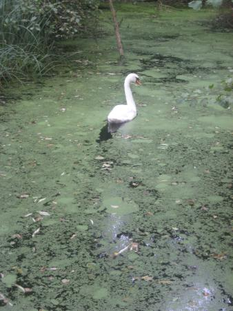 Stodmarsh National Nature Reserve: Swan on a Backwater