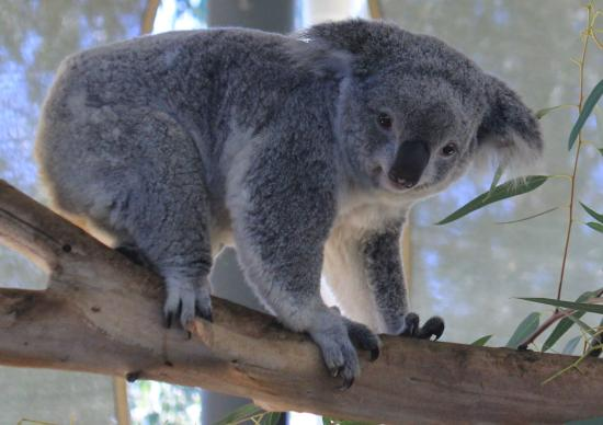 cute picture of cohunu koala park byford tripadvisor. Black Bedroom Furniture Sets. Home Design Ideas