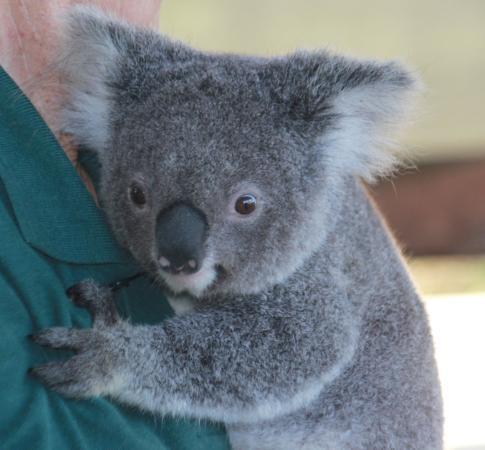 cohunu koala park picture of cohunu koala park byford. Black Bedroom Furniture Sets. Home Design Ideas