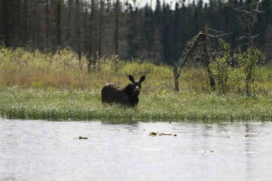 Red Lake, Canadá: Moose on the lake