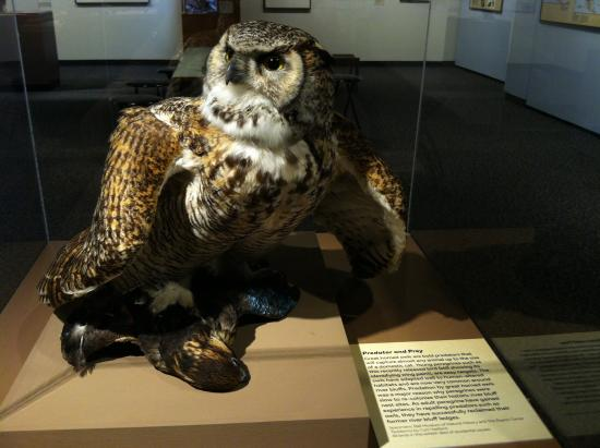 Bell Museum of Natural History: Great horned owl with peregrine falcon